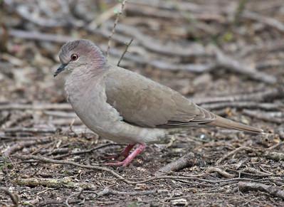 White-tipped Dove - Frontera Audubon Sanctuary, Weslaco, Texas