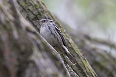 Black and White Warbler - Frontera Audubon Sanctuary, Weslaco, Texas
