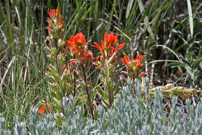 Indian Paintbrush - Deseret Ranch