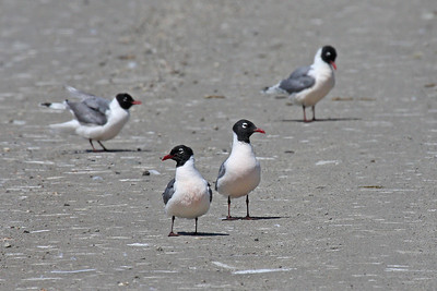 Franklin's Gulls