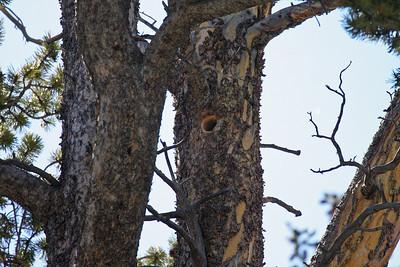 American Three-toed Woodpecker Nest Hole