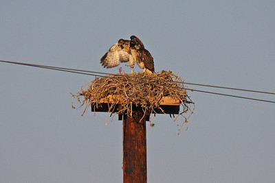 Young Red-tailed Hawks on Nest