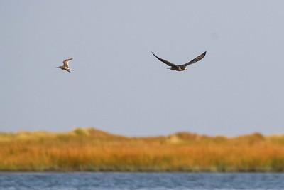 Peregrine Falcon Hunting Dunlin
