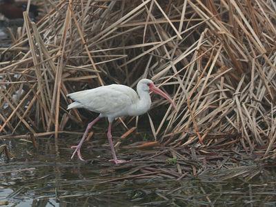 White Ibis - Birding Center - Port Aransas, TX
