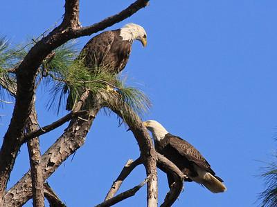 Bald Eagles (F-above,M-below) - Jan. 21, 2010