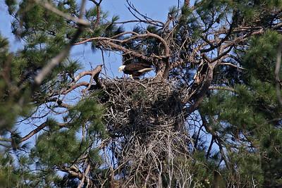 Bald Eagle - Feb. 24, 2010