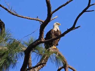 Bald Eagle (F) - Jan. 21, 2010