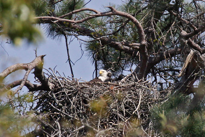 Bald Eagle (F) - March 22, 2010