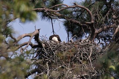 Bald Eagles - March 22, 2010
