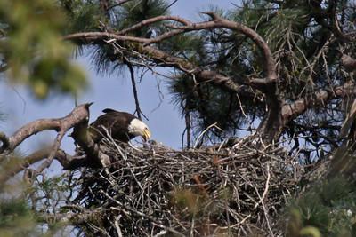 Bald Eagles - March 22, 2010. Female Feeding Chicks.