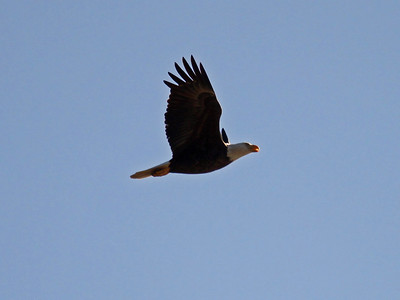 Bald Eagle (M) - Jan. 21, 2010