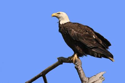Bald Eagle (F) - March 28, 2010