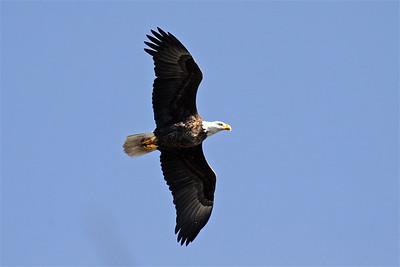 Bald Eagle (F) - Feb. 24, 2010