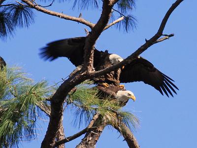 Bald Eagles Mating - Jan. 21, 2010
