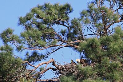 Bald Eagles  (F-left, M-right) - Jan. 21, 2010