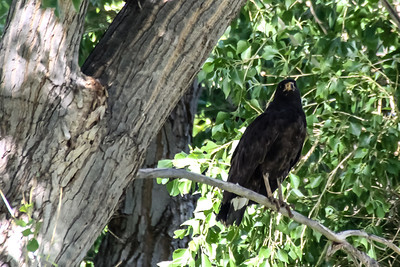 Common Black-Hawk